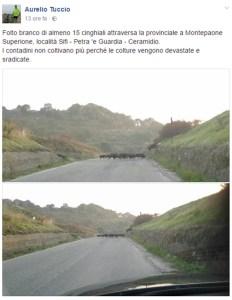 Branco di cinghiali sulla strada a Montepaone Superiore