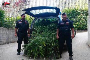 Controlli dei Carabinieri – Scoperta piantagione di cannabis, 8 denunce