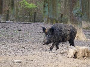 Approvate modifiche del Disciplinare caccia al cinghiale
