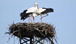Una nuova coppia di cicogne bianche nidifica in Calabria