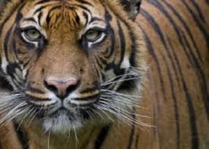 Vuole accarezzare tigre allo zoo, 29enne rischia di perdere il braccio