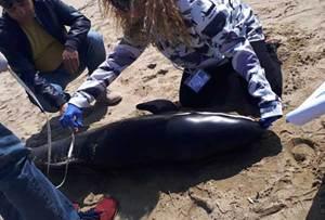 Un raro esemplare di delfino trovato morto in Calabria