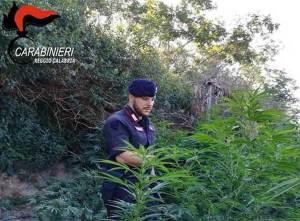 Rivenuta in Calabria la prima piantagione di canapa indiana dell'anno