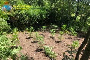 Scoperte dalla Guardia di Finanza 5 piantagioni di canapa indiana, 268 piante distrutte