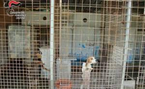 Scoperto allevamento illegale di cani, sequestrato. 30enne denunciato