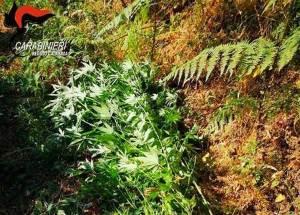 Scoperta una piantagione di canapa indiana, oltre 250 le piante distrutte