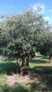Oliveto Calabria: nel 2019 olive sane e la produzione raddoppiata rispetto al 2018