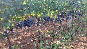 Vendemmia in Calabria da molto buona ad eccezionale con – 3% di produzione