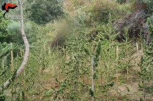 Scoperte dai carabinieri quasi 120 piante di marijuana