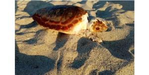"Wwf: ""Scoperti nidi di tartaruga marina in Calabria"""