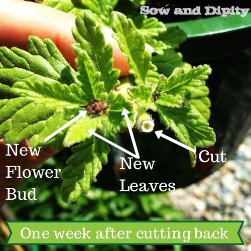 cutting back annuals