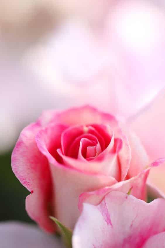 صور تجنن ورد جميل جداً