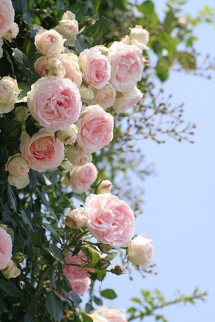 صور جميلة ورود الحب