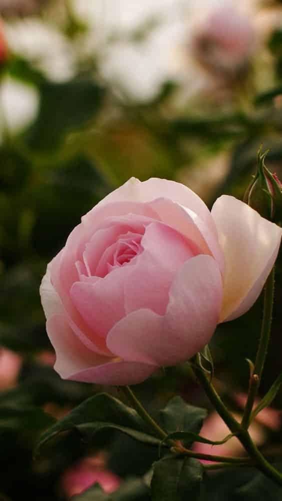 صور اجمل الورود فى العالم خقق