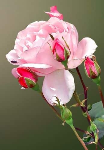 صور رائعة اجمل ورد