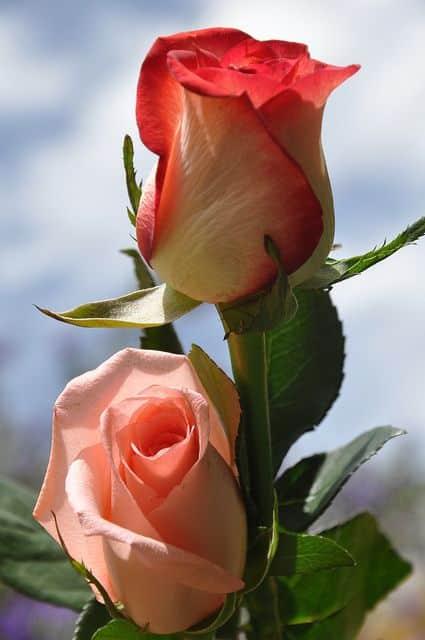 صور جامدة عن الورد