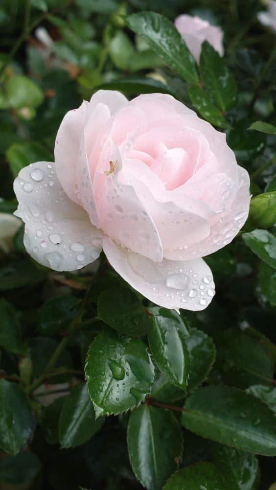 صور جميله عن الورد
