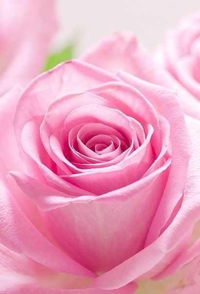 صور جميلة عن الورد