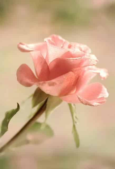 صور عن الورد جامدة