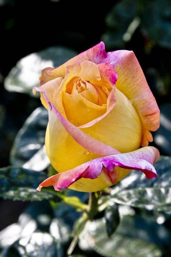 تنزيل صور عن الورد