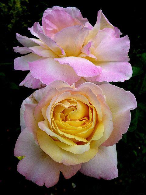 صور عن الورد للأنستقرام