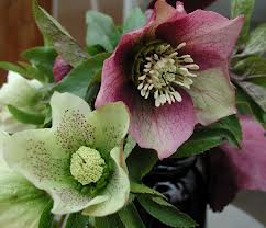 Hellebores, a.k.a. Lenten Roses love Seattle's wet winter and early spring.
