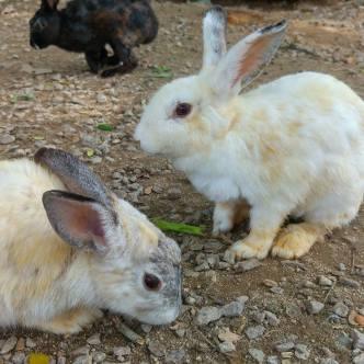Rabbits at Zenxin Organic Park