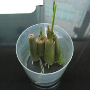 Lemongrass rooting in water