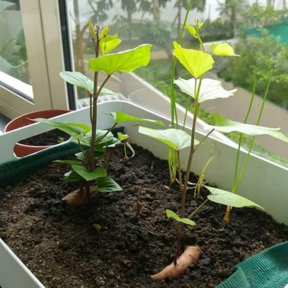 Sweet Potatoes growing