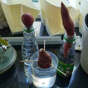 Growing sweet potatoes in water
