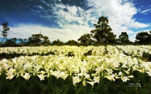 lilies_field