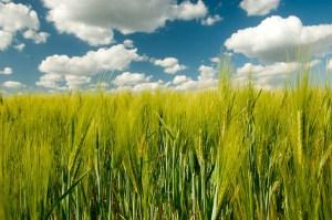 wheat-field-1