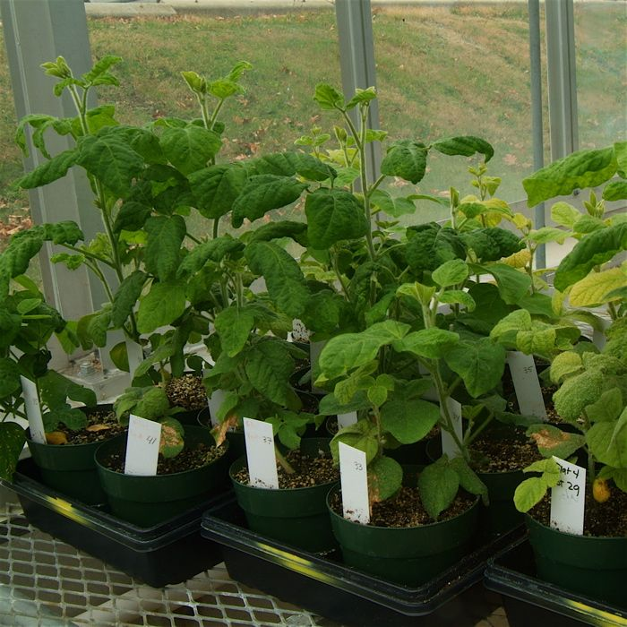 Soybean Research  Information Initiative  Soybean Viruses
