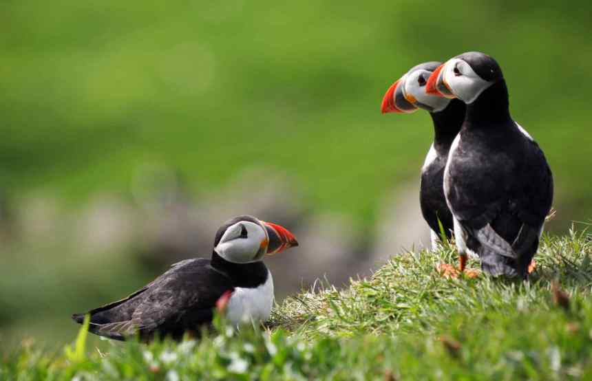 Frailecillos (Puffins) en las Islas Feroe