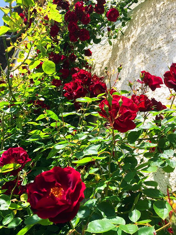 론세스바예스 수도원 알베르게의 장미