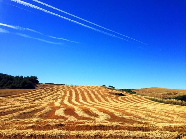 추수 끝난 밀밭과 비행운