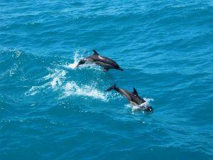 Делфини и рапани унищожавали рибата в Черно море 3