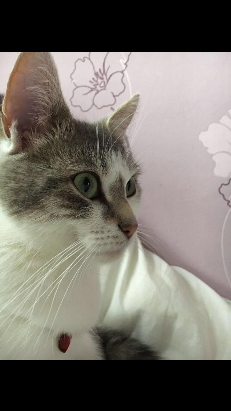 chipie chat blanc et tigre gris