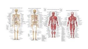 human-anatomy-diagram