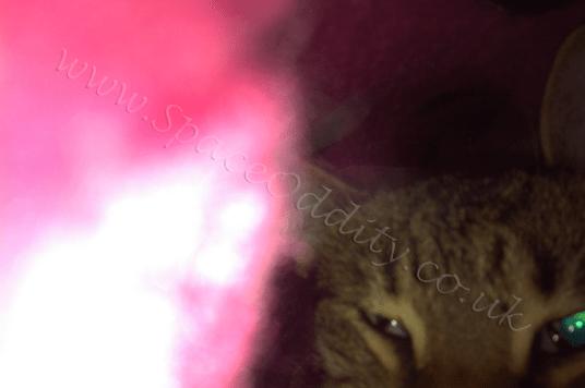 Bangalis under pink blanket