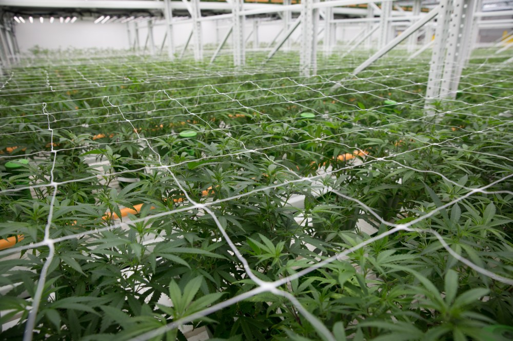 medium resolution of trellises and netting help keep the cannabis plants from sprawling into the aisles where they might get bumped or broken