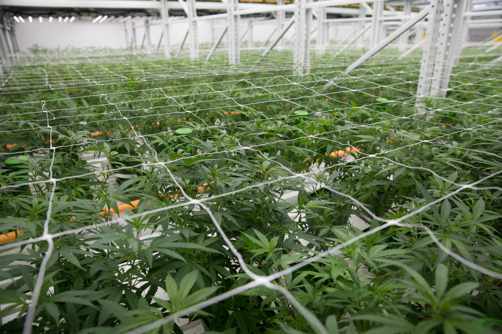 hight resolution of trellises and netting help keep the cannabis plants from sprawling into the aisles where they might get bumped or broken