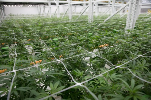 small resolution of trellises and netting help keep the cannabis plants from sprawling into the aisles where they might get bumped or broken