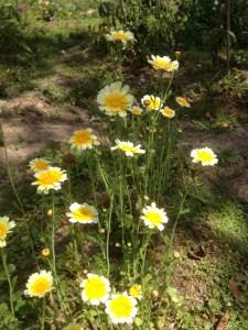 Pretty in the garden as well as edible, growing shungiku or edible chrysanthemum