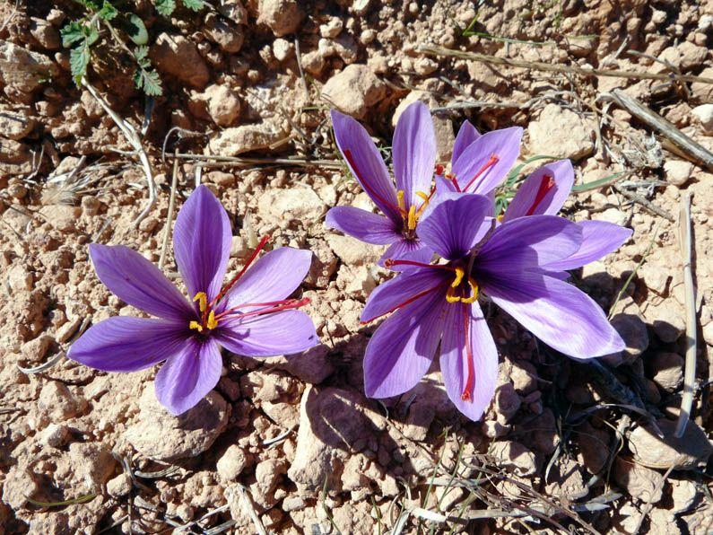 サフランの花。青紫の小さな花はとても背丈が低いので一つ一つ手摘み作業も一仕事。だから花を摘む時期が来ると多くの人が協力して摘んでいきます。それが毎年10月に開催されるサフラン祭りです。