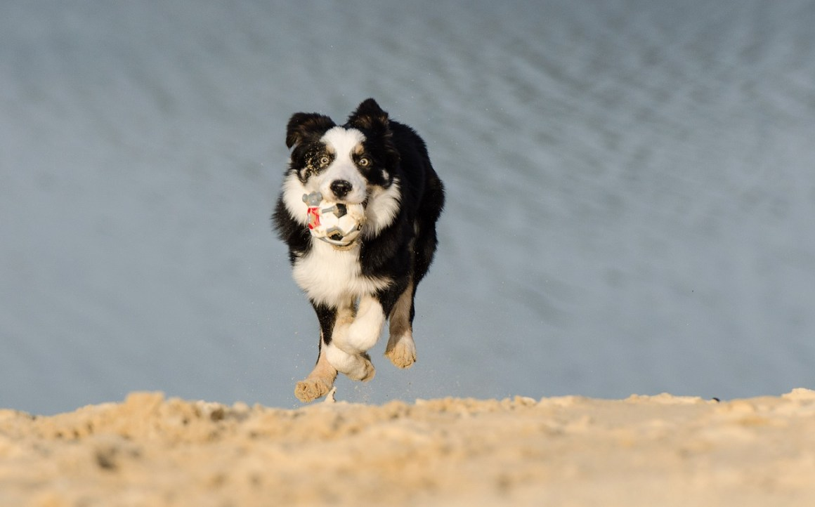 border-collie-662700_1280