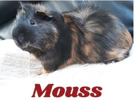 Mouss ♂ cobaye – FA réservé