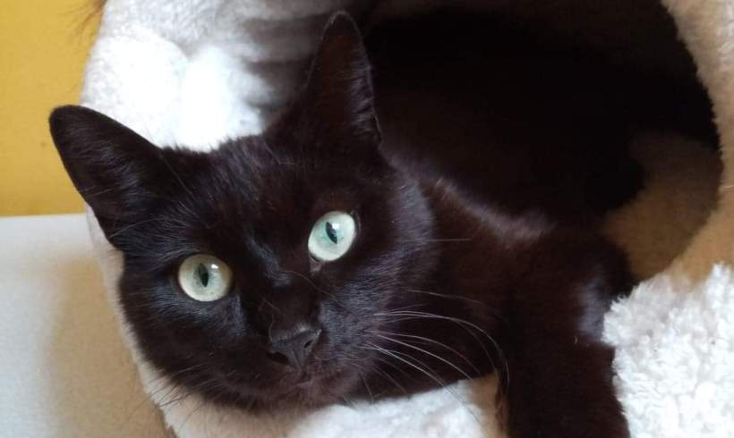 Confetti ♀ grand chaton – Bar à chats