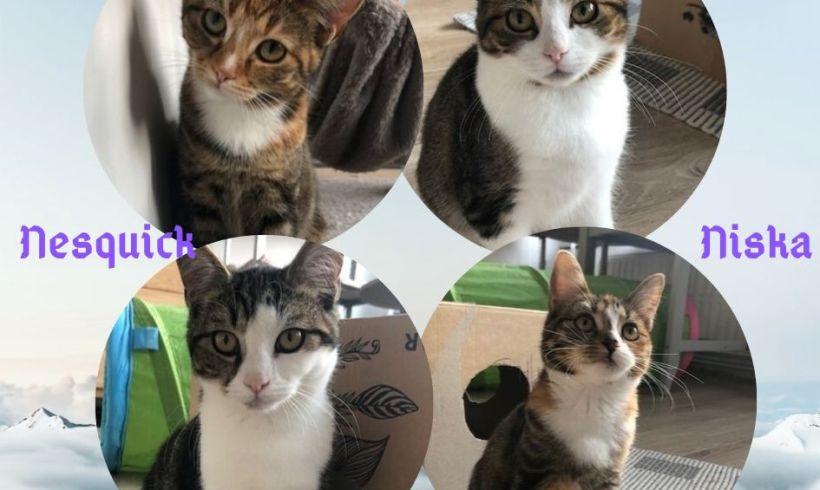 Nookie, Niska,  ♀  & Nesquick ♂ grands chatons – FA