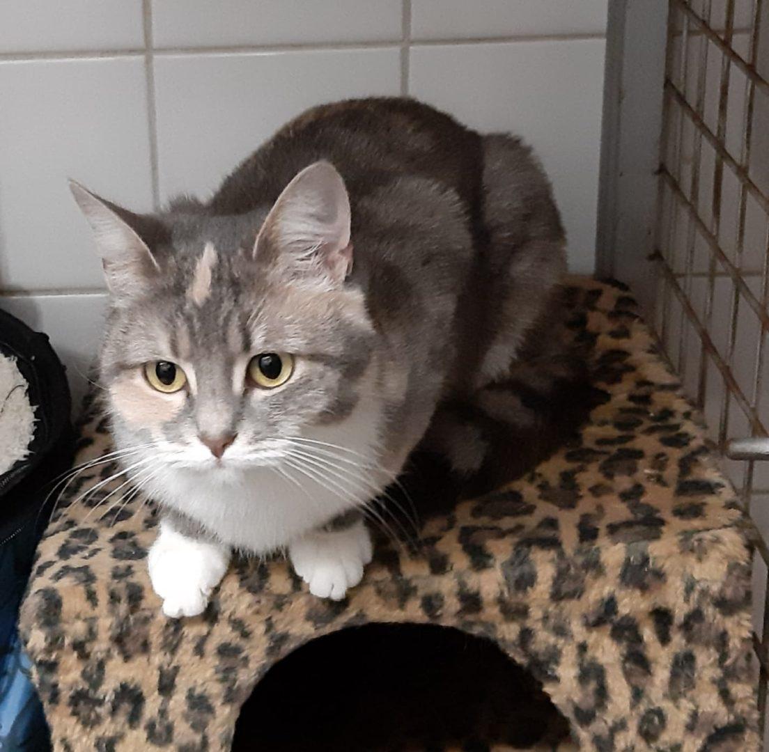 Figuette ♀ grand chaton – FA ( Réservée )